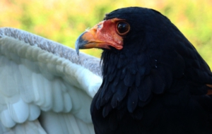 Bateleur Photos