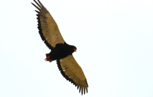 Bateleur Wallpaper