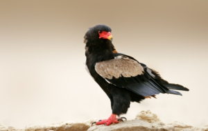 Bateleur Wallpapers