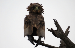 Bateleur Widescreen