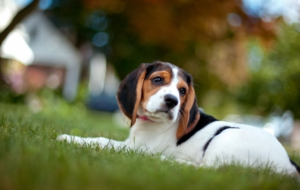 Beagle High Definition Wallpapers