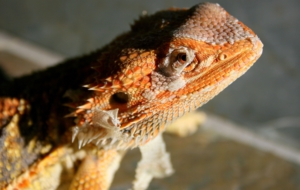Bearded Dragon HD