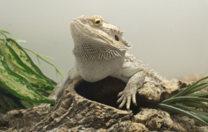 Bearded Dragon HD Desktop
