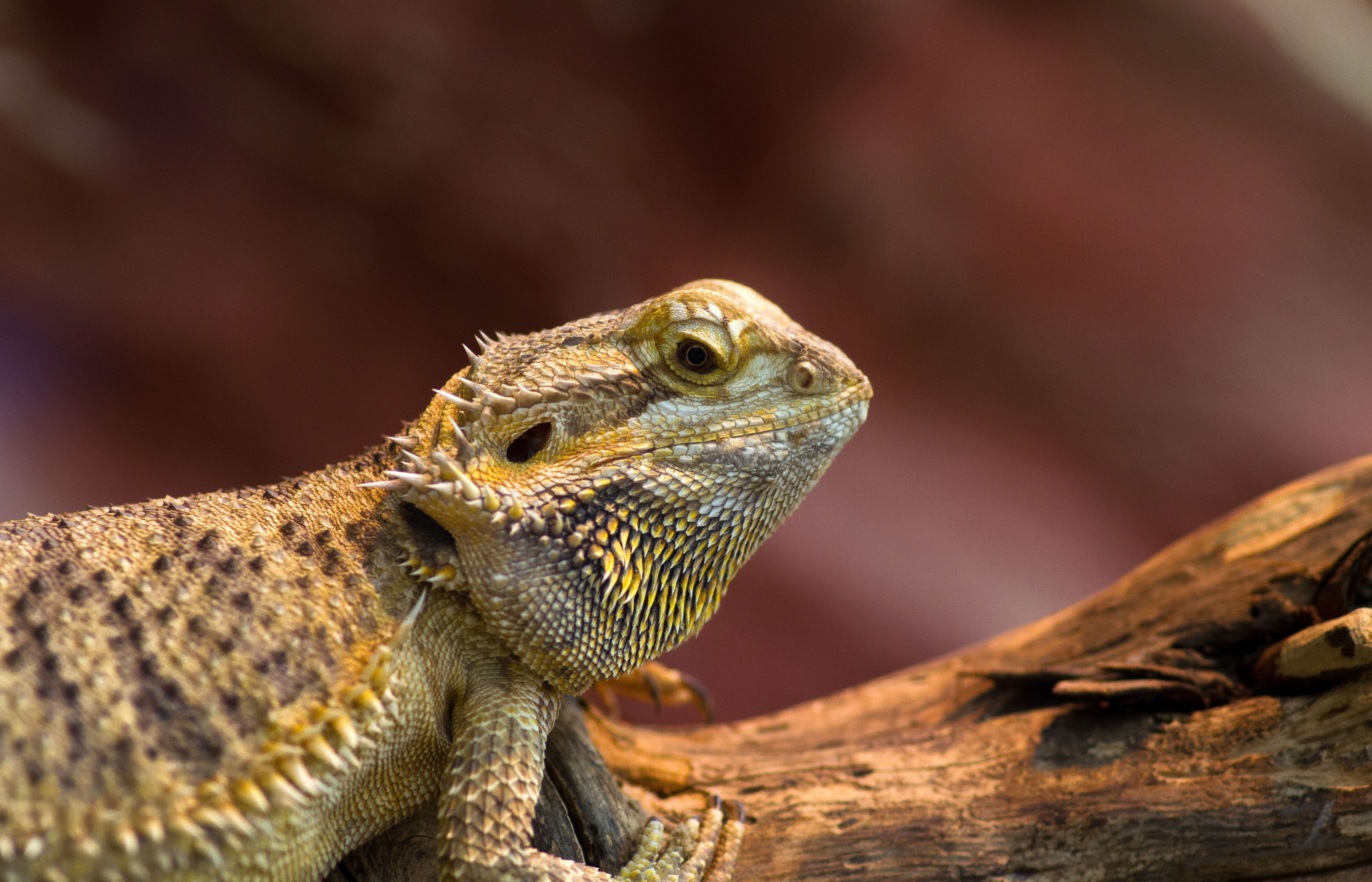 Bearded dragon wallpapers backgrounds bearded dragon hd wallpaper voltagebd Choice Image