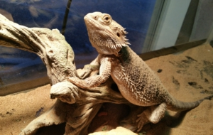 Bearded Dragon High Definition Wallpapers