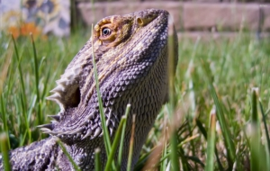 Bearded Dragon Images