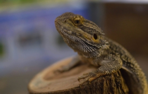 Bearded Dragon Photos