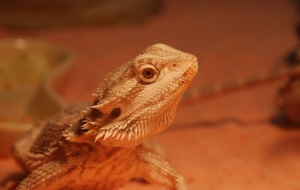 Bearded Dragon Wallpapers HD