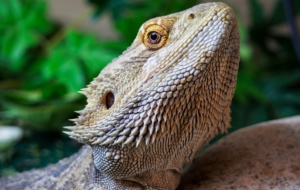 Bearded Dragon Widescreen