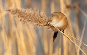 Bearded Reedling HD