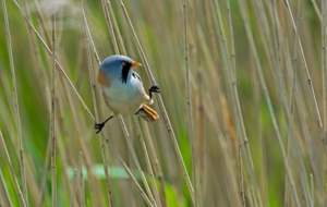 Bearded Reedling HD Background