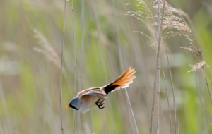 Bearded Reedling HD Desktop