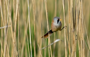 Bearded Reedling HD Wallpaper