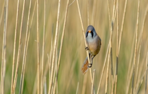 Bearded Reedling High Definition Wallpapers
