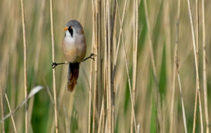 Bearded Reedling High Quality Wallpapers