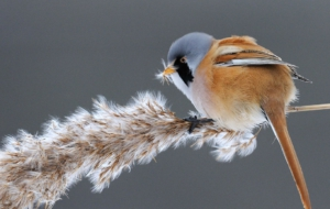 Bearded Reedling Images