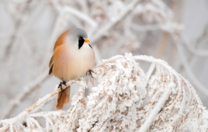 Bearded Reedling Photos