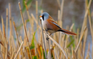 Bearded Reedling Pictures