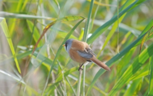 Bearded Reedling Wallpapers