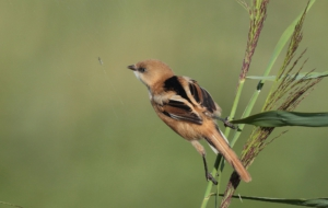 Bearded Reedling Wallpapers HD