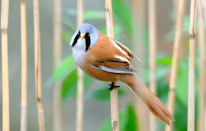 Bearded Reedling Widescreen