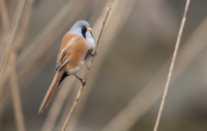 Bearded Reedling Full HD