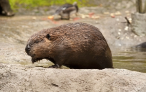 Beaver For Desktop