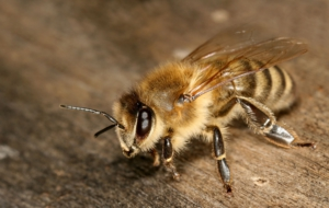 Bee Free HD Wallpapers