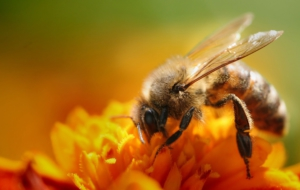 Bee High Definition Wallpapers