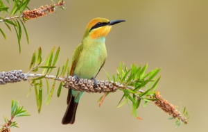 Bee Eater Computer Backgrounds