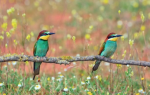 Bee Eater HD Desktop