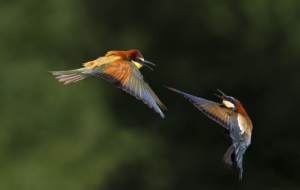 Bee Eater High Definition Wallpapers