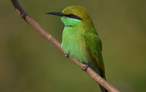 Bee Eater For Desktop