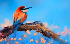 Bee Eater Full HD