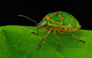 Beetle High Definition
