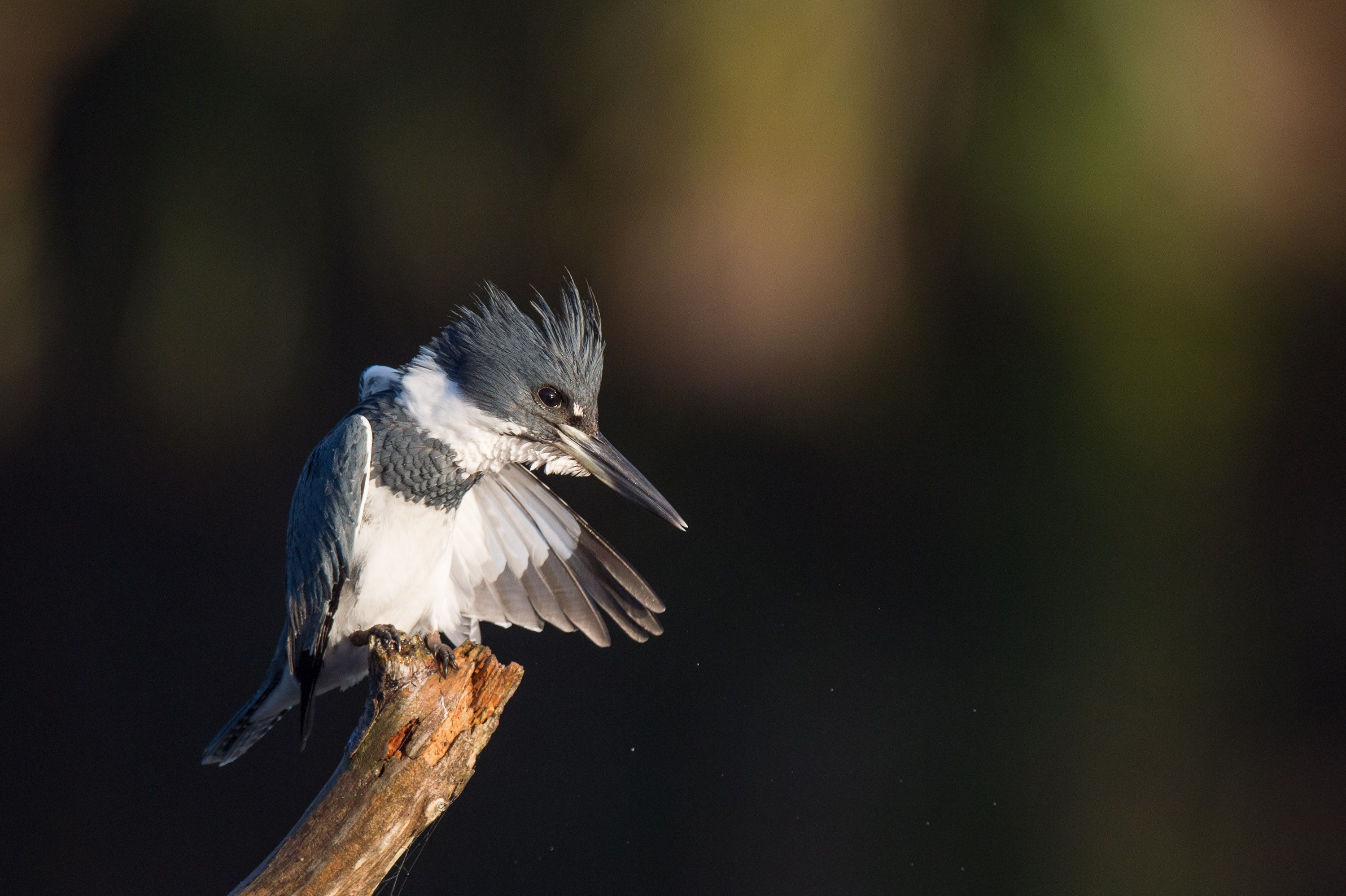 Kingfisher Wallpapers: Belted Kingfisher Wallpapers Backgrounds