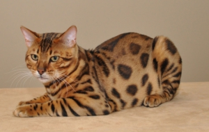 Bengal Cat Background