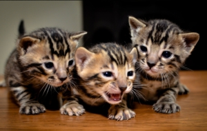 Bengal Cat Computer Backgrounds