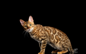 Bengal Cat Computer Wallpaper