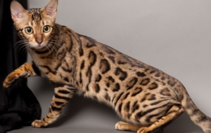 Bengal Cat Desktop