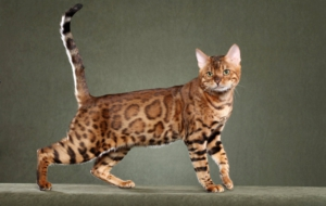 Bengal Cat HD