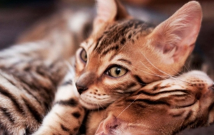 Bengal Cat HD Wallpaper