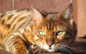 Bengal Cat High Definition
