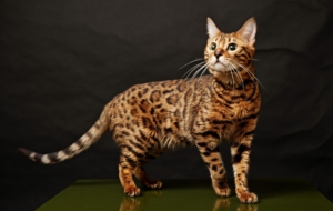 Bengal Cat For Desktop