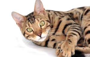 Bengal Cat Full HD