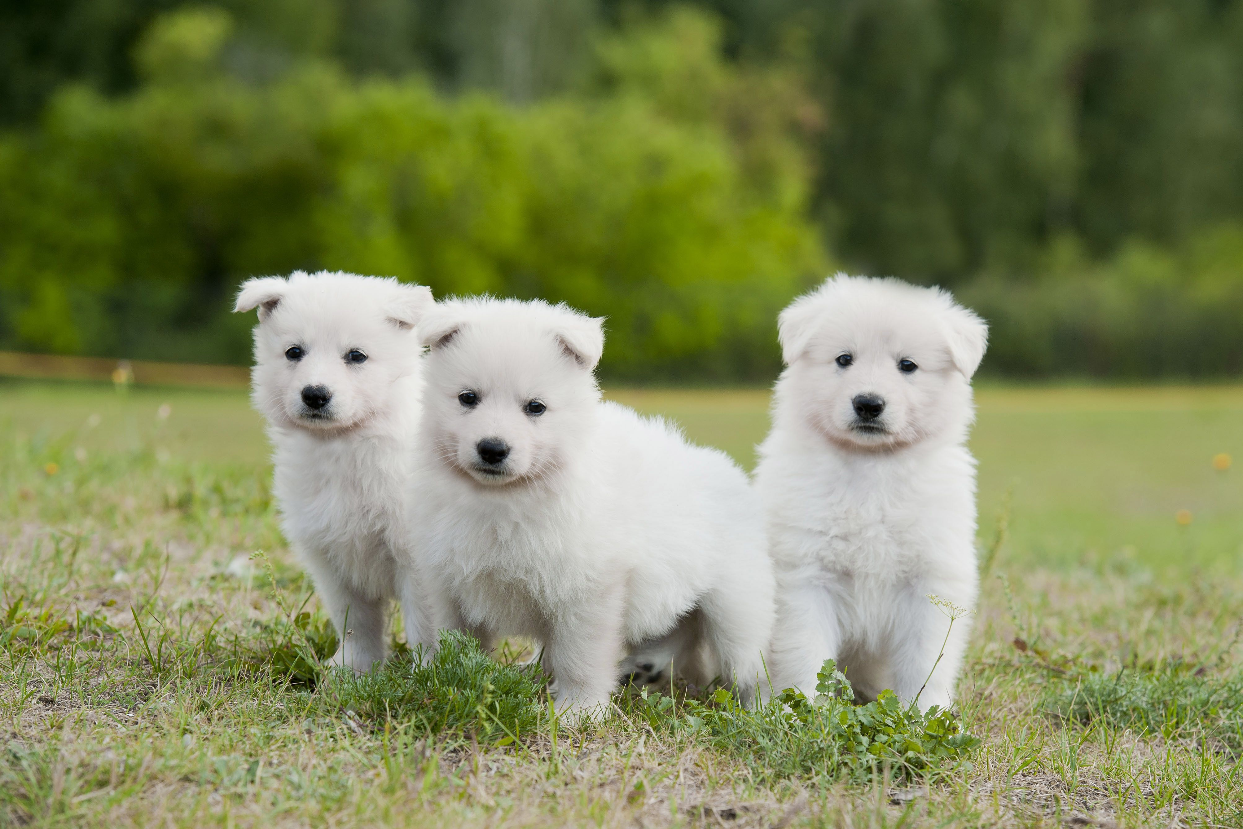 Berger Blanc Suisse Wallpapers Backgrounds