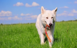 Berger Blanc Suisse Background