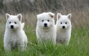 Berger Blanc Suisse HD Background
