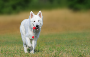 Berger Blanc Suisse Wallpapers HD