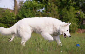 Berger Blanc Suisse Widescreen
